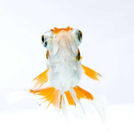 golden fish in water Stock Photo - 11938470