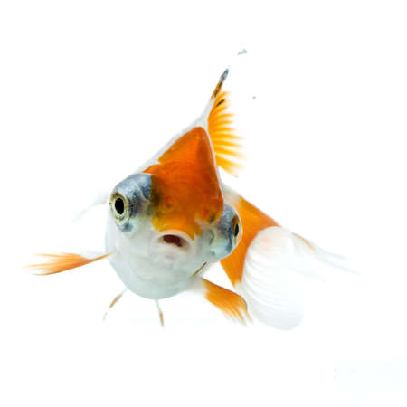 golden fish in water Stock Photo - 11938461