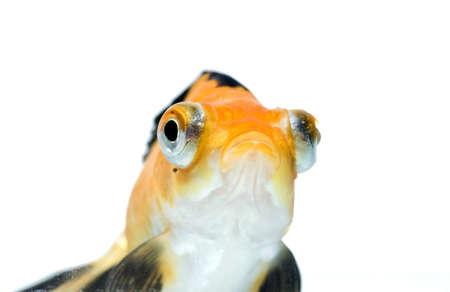 golden fish on white background Stock Photo - 11938462