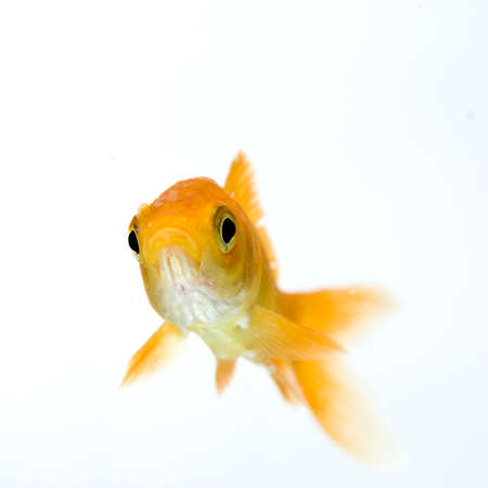 golden fish on white background Stock Photo - 11938463