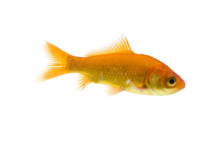 golden fish on white background  Stock Photo - 11938472