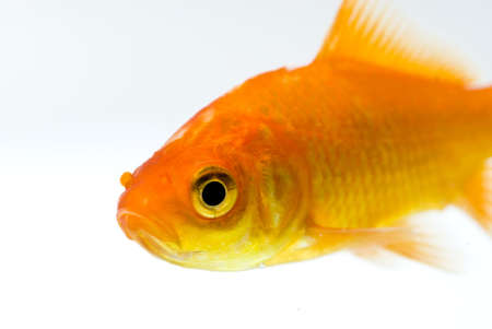 golden fish on white background  Stock Photo - 11938488