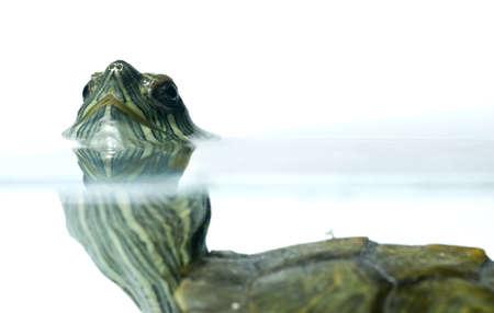 swimming turtle Stock Photo - 11938485