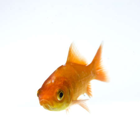 golden fish on white background Stock Photo - 11938460