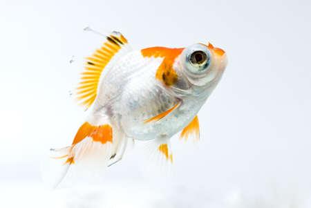 golden fish on white background Stock Photo - 11938484