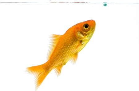 golden fish on white background