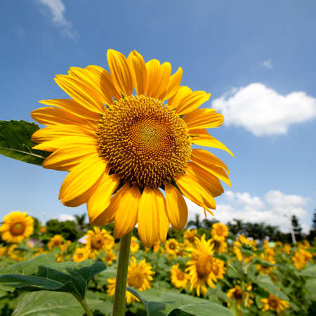 energize: Sunflower field