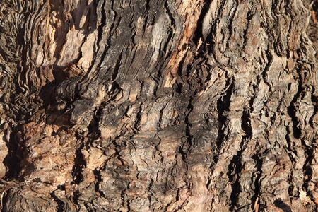 Old eucalyptus tree bark texture