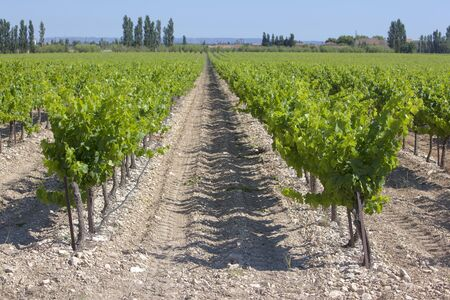 A Wineyard in spring in southern France Stock Photo