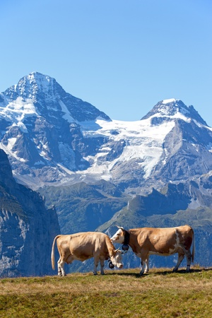 Two cows in the Swiss Alps with mountains in the background photo