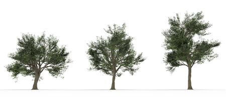 oak tree silhouette: Three large trees isolated on white background
