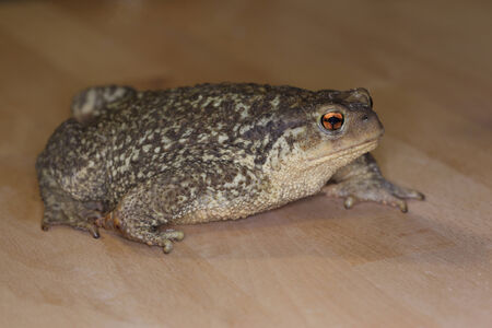 Bufo Spinosus toad sitting on light wood background Stock Photo