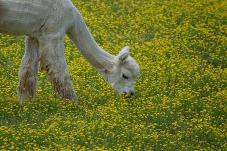Alpaca Sheared