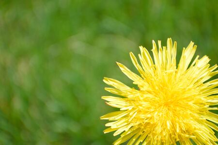 Dandelion Bloom Фото со стока