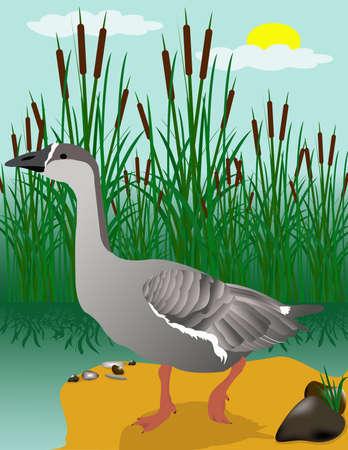 reservoir: Vectors collecting goose swim in the reservoir. Illustration