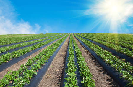 agricultural: Strawberry field illuminated by the sun. Stock Photo