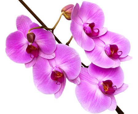 orchid isolated on white background Stock Photo