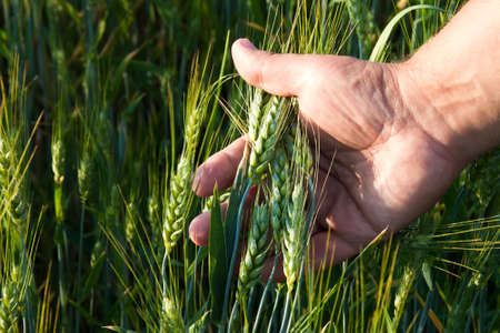 wheat in the mens hand Stock Photo