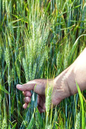 wheat in the mens hand Imagens