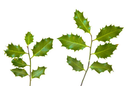 fruition: Holly leaves isolated on a white background