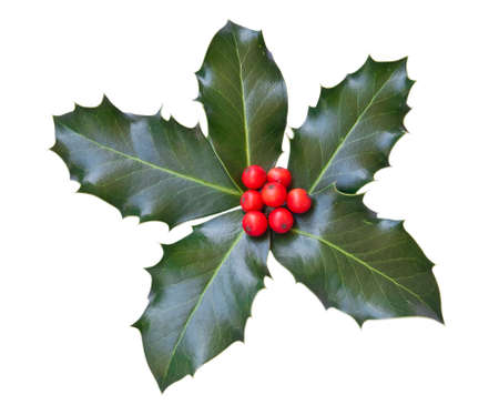 hulst: Holly bladeren en bessen geïsoleerd op een witte achtergrond  Stockfoto