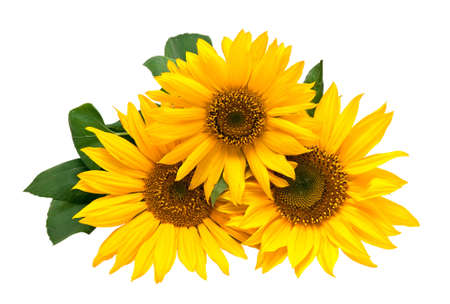 sunflower seeds: Sunflowers, isolated on a white background.