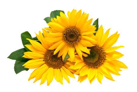 zonnebloem: Zonne bloemen, geïsoleerd op een witte achtergrond.
