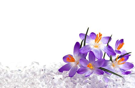 krokus: Crocus bloemen in ijs Stockfoto