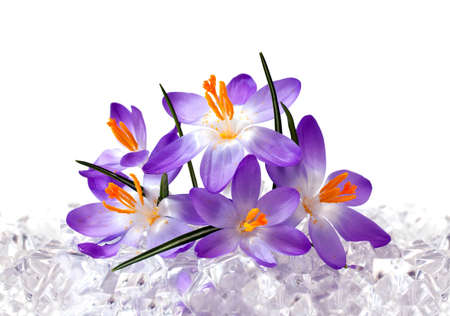 Crocus flowers in ice Stock Photo