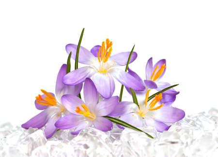 Crocus flowers in ice photo