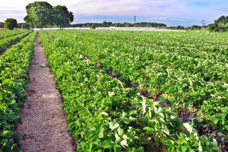 crop: Strawberry field