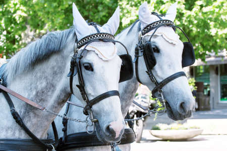 Horses in harness on a city street Stock Photo - 9689855