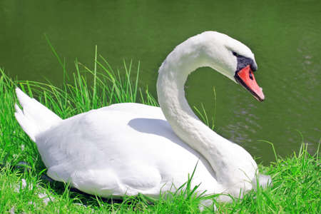 White swan on a pond Stock Photo - 10331485