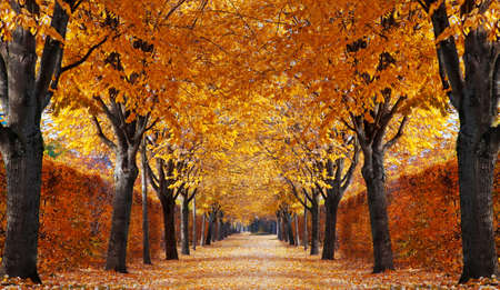 deciduous: Autumn alley
