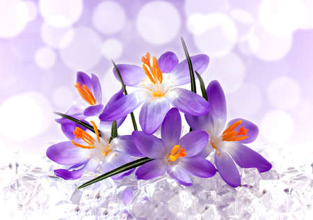 Violet flowers of a crocus in ice photo