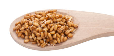 Sprouted wheat grain closeup on white background photo