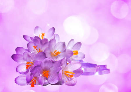 Purple background with flowers of crocus photo