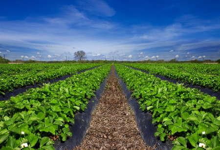 cropland: Strawberry field