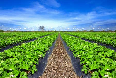 Endless Strawberry field