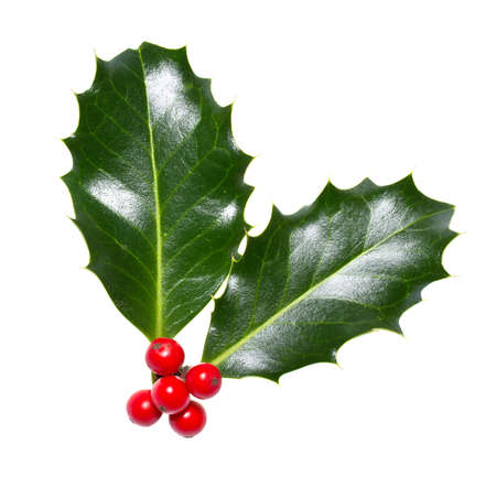 ilex aquifolium holly: holly leaves and berries isolated on a white background