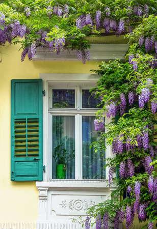 Beautiful blue wistaria Banque d'images