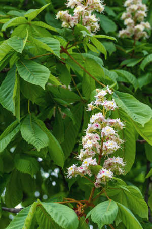 Flowering branches of chestnut photo