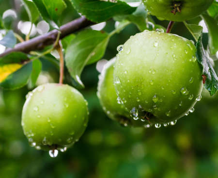 Green apples on a branch in a garden Stock Photo