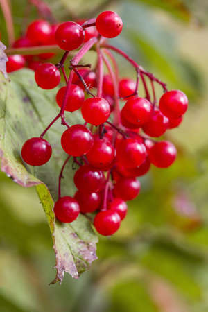 guelder rose berry: Red autumn berry Stock Photo