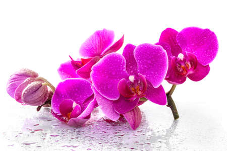 Pink orchid with dew and reflection photo