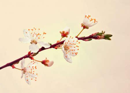 Blooming sakura branch  photo