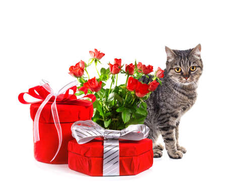 European cat with gifts  Isolate on white background, photo