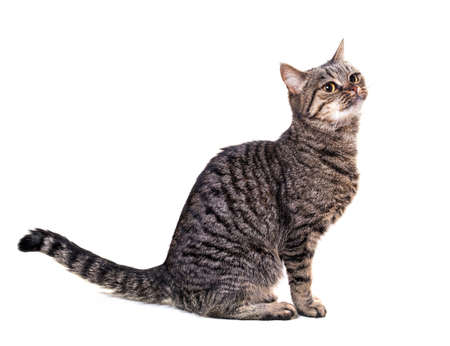 European cat on a white background photo