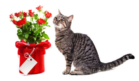 European cat with gifts  Isolate on white background,