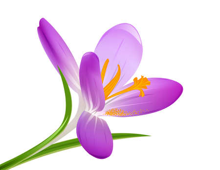 Blooming crocus on a white  Vector